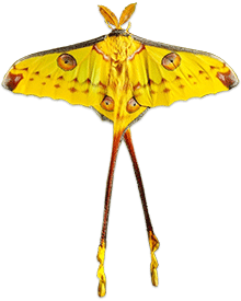 yellow long tail butterfly