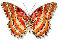 Red Lacewing butterfly, photo by J B McKoy, copyright 2008
